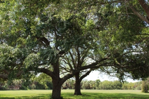 Oak Trees on Great Lawn