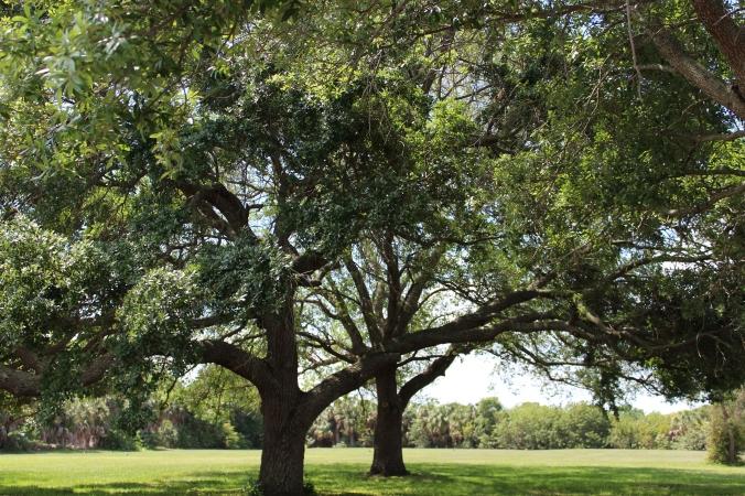 Oak Trees on Great Lawn